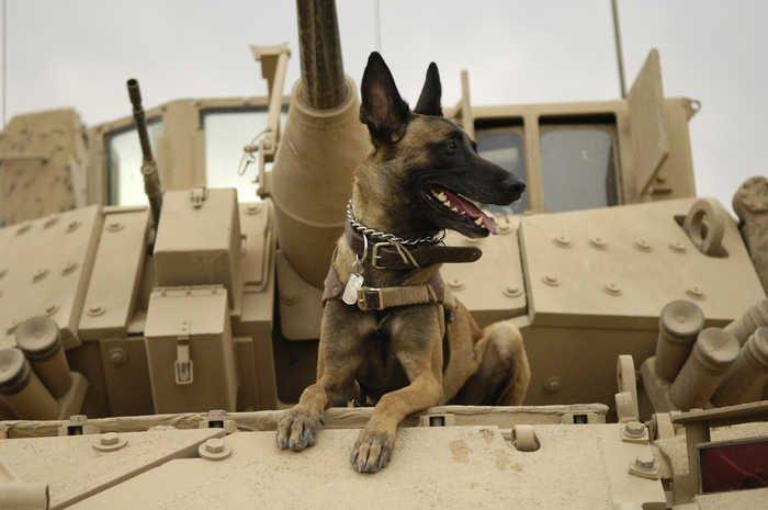 Бойові собаки: зброя, яка розумніша за людину